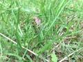 2016.6.26 にいにい蝉の幼虫